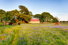Bluebells at Emsworthy Mire Royalty Free Stock Photo