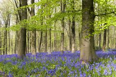 Bluebells en bois photo stock