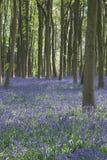 Bluebells en las maderas de Itchen Fotos de archivo