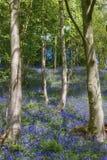 Bluebells en madera Fotografía de archivo