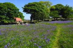 Bluebells et grange couverte rouge Images libres de droits