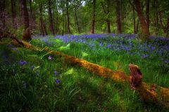 Bluebells and a fallen tree Stock Photography