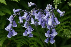 Bluebells and ferns Royalty Free Stock Photography