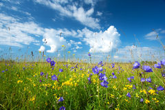 Bluebells on the field Royalty Free Stock Photo