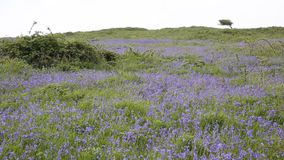 Bluebells in a field in spring stock footage