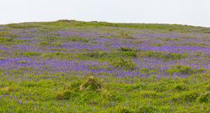 Bluebells in a field in spring Stock Image