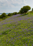 Bluebells in a field in spring Royalty Free Stock Photography