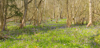 Bluebells in a field in spring Royalty Free Stock Image