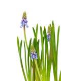 Bluebells flower Stock Photography