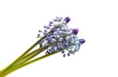 Bluebells flower (Grape Hyacinth Muscari armeniacum) Royalty Free Stock Photo