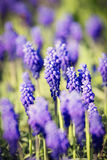 Bluebells flower (Muscari armeniacum) Royalty Free Stock Photography