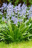 Bluebells in a flowerbed Stock Photography