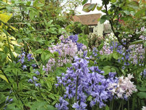 Bluebells flowering Royalty Free Stock Photography