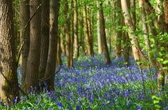 Bluebells  flowering in woodland. Stock Photos