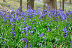 Bluebells flowers, April, Halle's Wood, Belgium. Hallerbos is a beech forest near the town of Halle. Throughout the year it is a haven for walkers, cyclists and Stock Photo