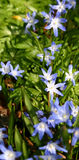 Bluebells flowers, Blue spring. Blue spring flowers in the sun Royalty Free Stock Photo