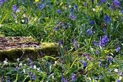Bluebells flowers Hallerbos Stock Image