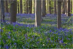 Bluebells flowers Hallerbos Royalty Free Stock Images