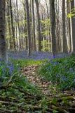 Bluebells flowers Hallerbos Royalty Free Stock Image