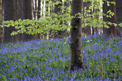 Bluebells flowers Hallerbos Stock Images