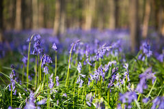 Bluebells flowers Hallerbos Royalty Free Stock Photography