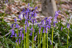 Bluebells flowers Hallerbos Royalty Free Stock Image