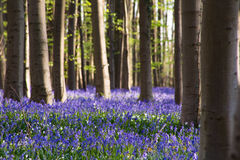 Bluebells flowers Hallerbos Stock Images