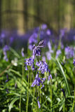 Bluebells flowers Hallerbos Stock Photo