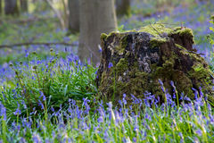 Bluebells flowers Hallerbos Royalty Free Stock Images