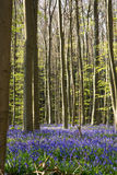 Bluebells flowers Hallerbos Stock Photography