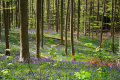Bluebells flowers late April,Halle's Wood, Belgium. Hallerbos is a beech forest near the town of Halle. Throughout the year it is a haven for walkers, cyclists Stock Photos