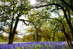Bluebells in the forest. Royalty Free Stock Image
