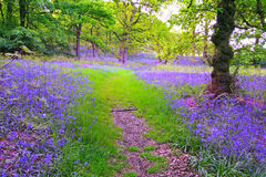 Bluebells forest Royalty Free Stock Photography