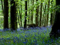 Bluebells forest stock photography