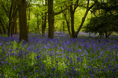 Bluebells In Forest Royalty Free Stock Photography