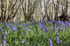 Bluebells. A forest in early spring Stock Photos