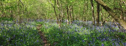 Bluebells in a forest. Panorama. Stock Photography