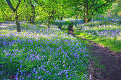 Bluebells forest in Springtime, UK Royalty Free Stock Images