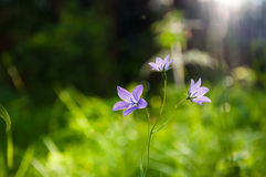 Bluebells in the forest at sunset. Stock Photography