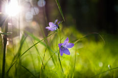 Bluebells in the forest at sunset Royalty Free Stock Photos