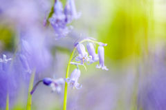 Bluebells in the forest Royalty Free Stock Images