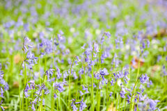 Bluebells in the forest Royalty Free Stock Photo