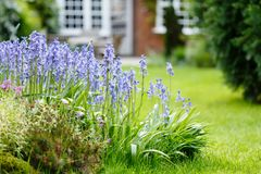 Bluebells in garden Royalty Free Stock Image