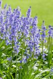 Bluebells in garden Royalty Free Stock Photography