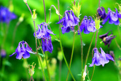Bluebells in the garden Royalty Free Stock Images