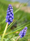 Bluebells (Grape Hyacinth, Muscari armeniacum) Stock Photos