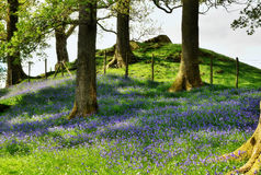 Bluebells on a grassy bank Royalty Free Stock Photos