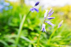 Bluebells in a green field royalty free stock photos
