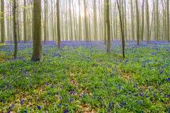 Bluebells Hallerbos Бельгии Стоковые Фотографии RF
