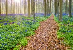Bluebells Hallerbos Бельгии Стоковое фото RF
